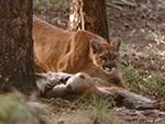 COUGARS:  ECOLOGY & VERIFICATION