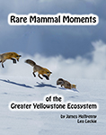 Rare Mammal Moments of the Greater Yellowstone Ecosystem
